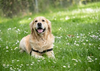 medium short-coated white dog lying on green grass field