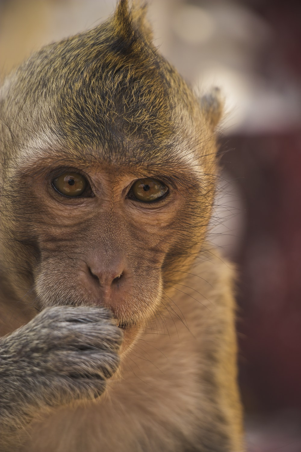 shallow focus photography of brown monkey