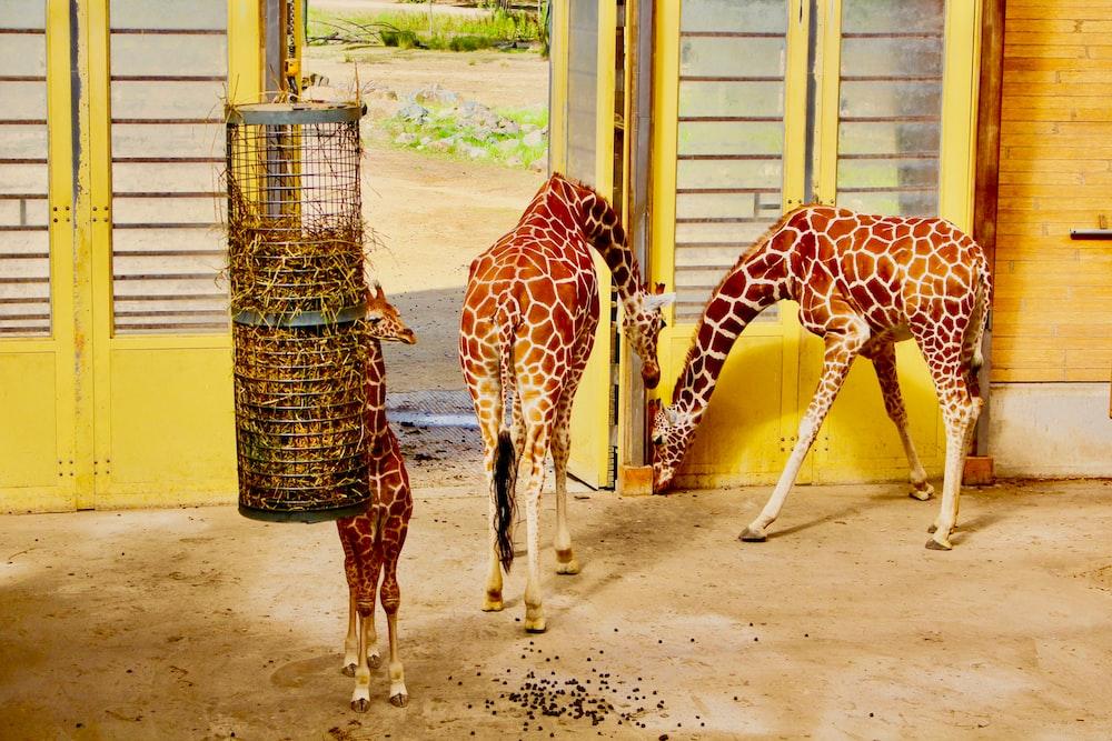 two brown giraffes standing beside white door