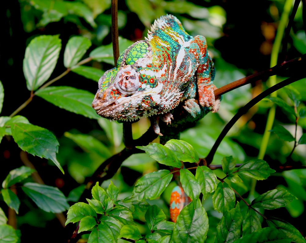 chameleon on tree branch