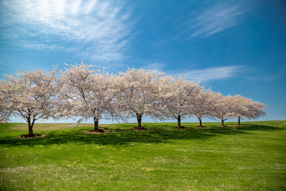 seven cherry blossom trees under blue sky