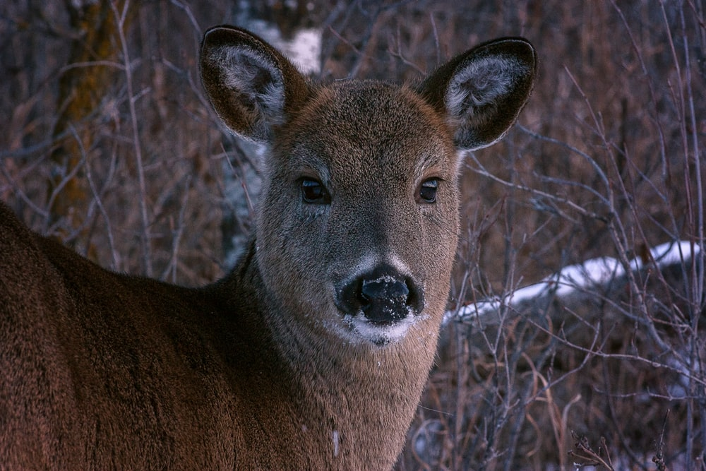 wildlife photography of brown animal