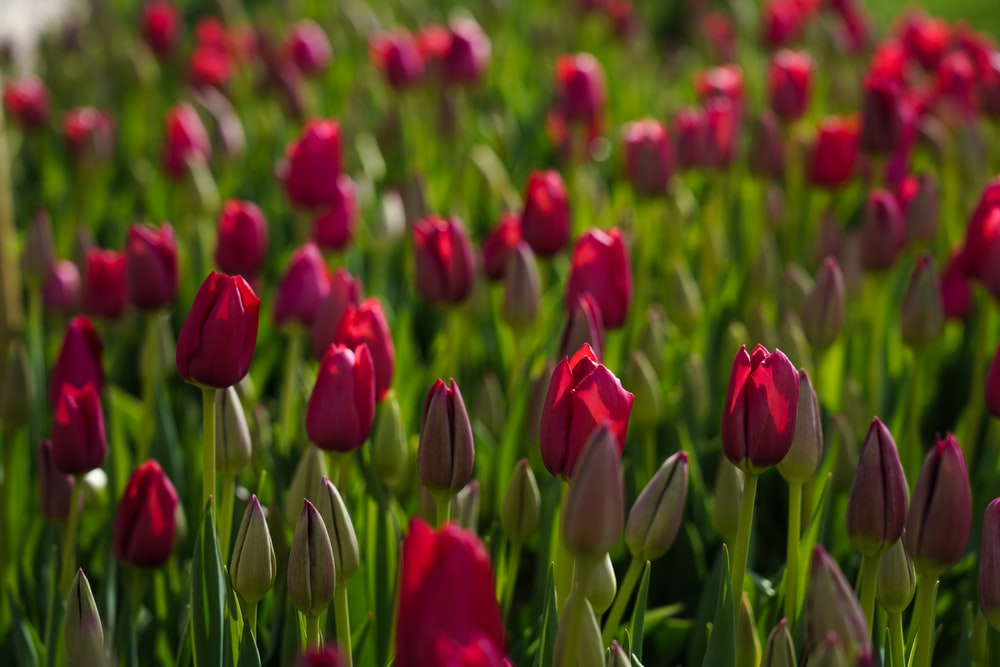 field of pink tulips