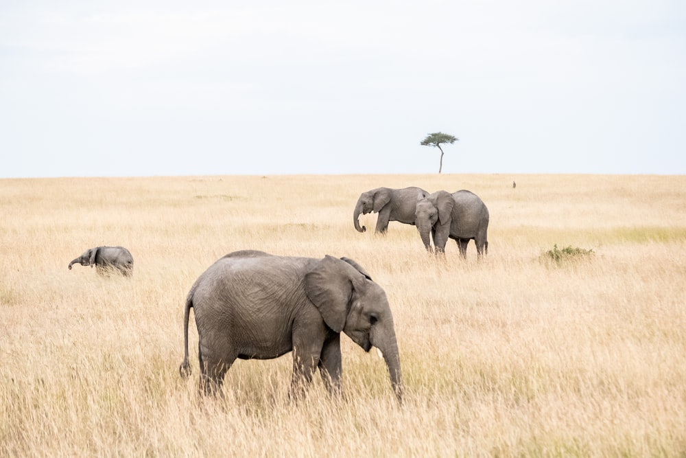 group of elephants on brown grass field