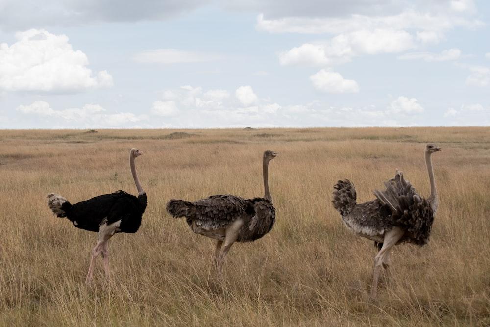 three black ostriches on field