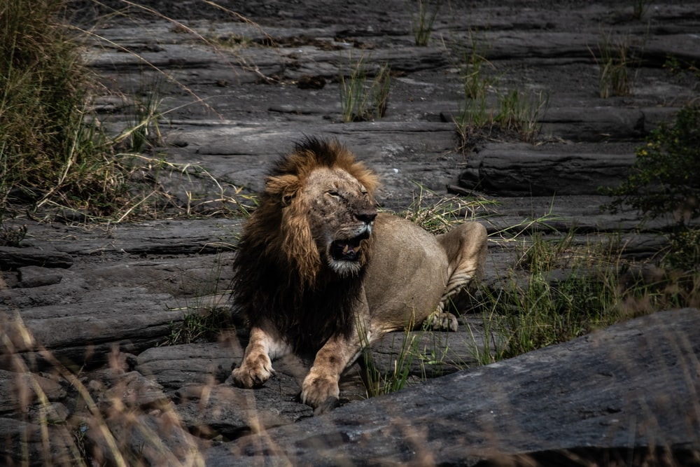 adult lion lying on rock