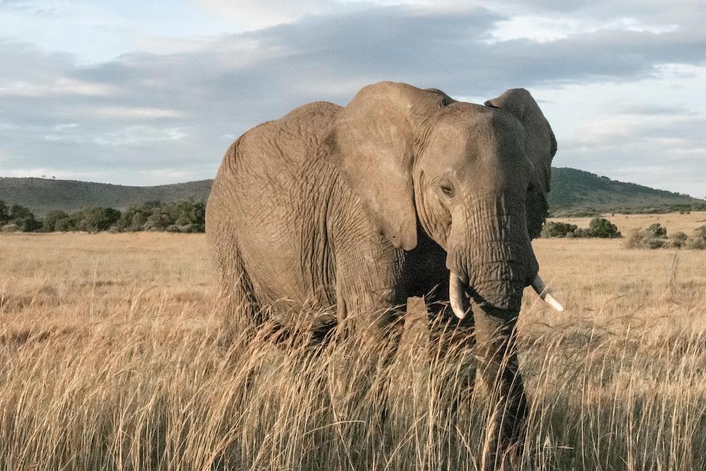 adult elephant standing in wheat field