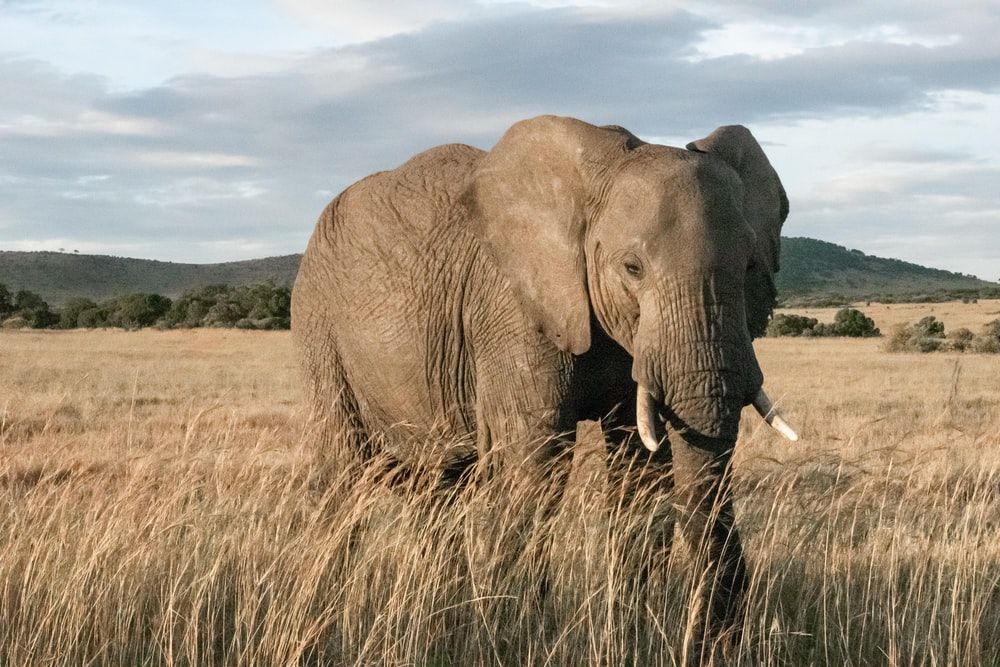 adult elephant standing in wheat field