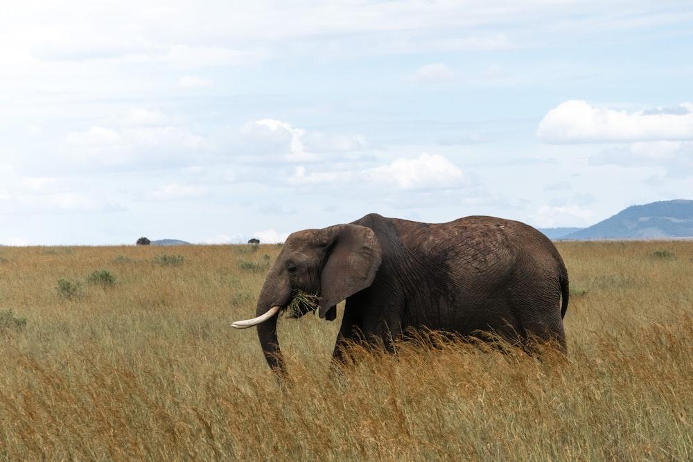 brown elephant on field