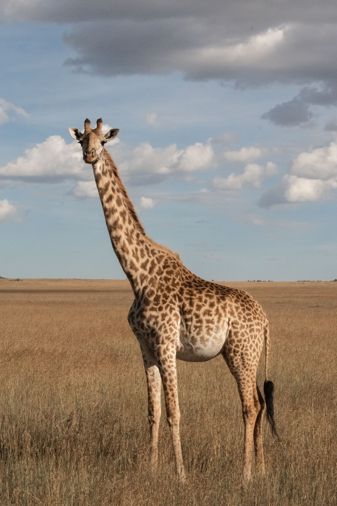 Giraffe during safari in Maasai Mara National Park in Kenya, Africa.