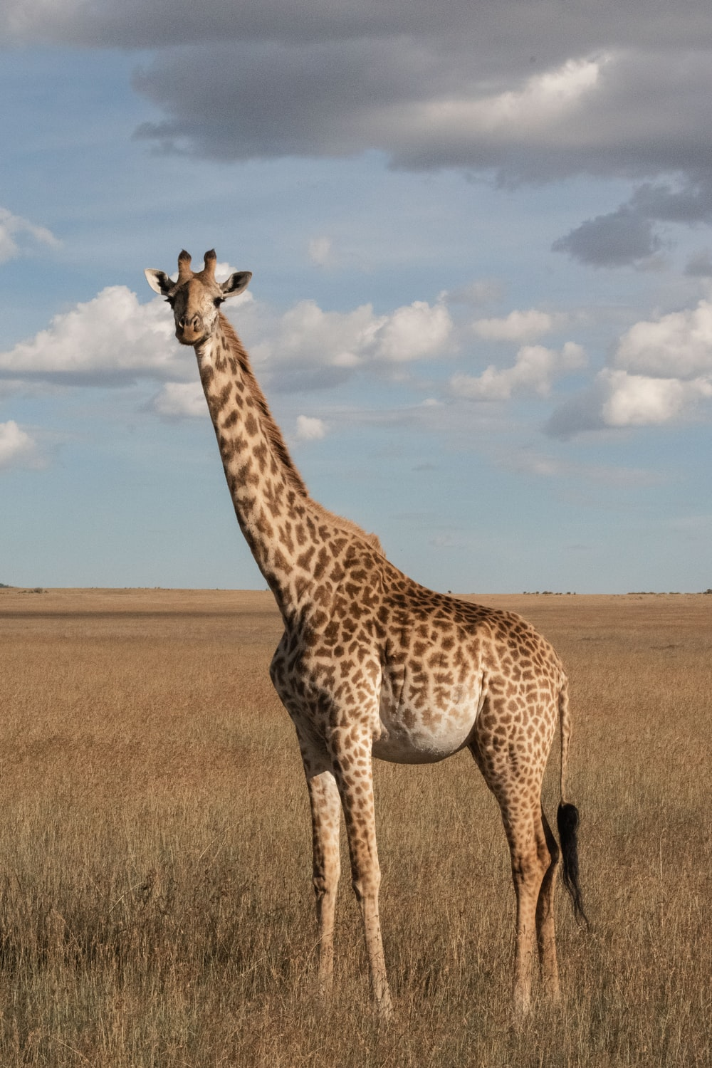 500 Giraffe Pictures Hd Download Free Images On Unsplash