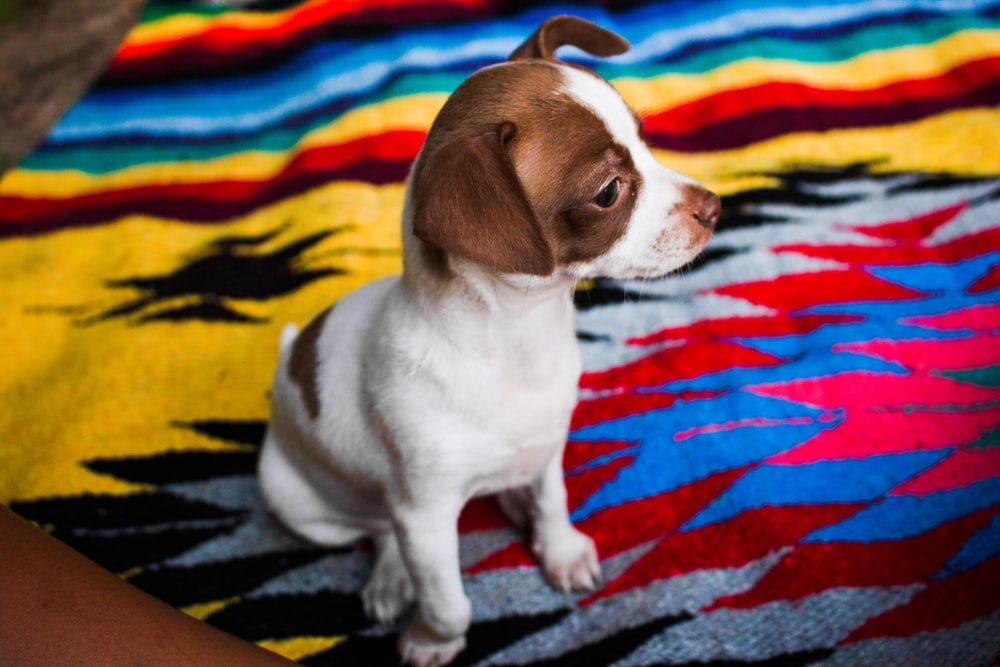 short-coat white and brown dog on multicolored textile