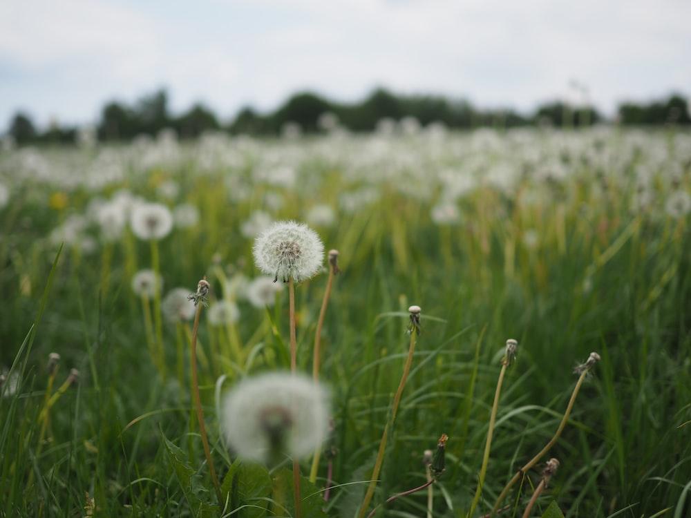 white dandelion field during daytime