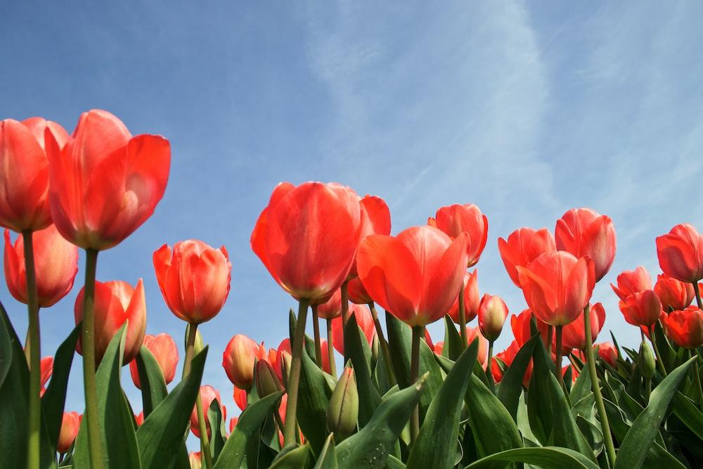 red tulip flowers under calm blue sky