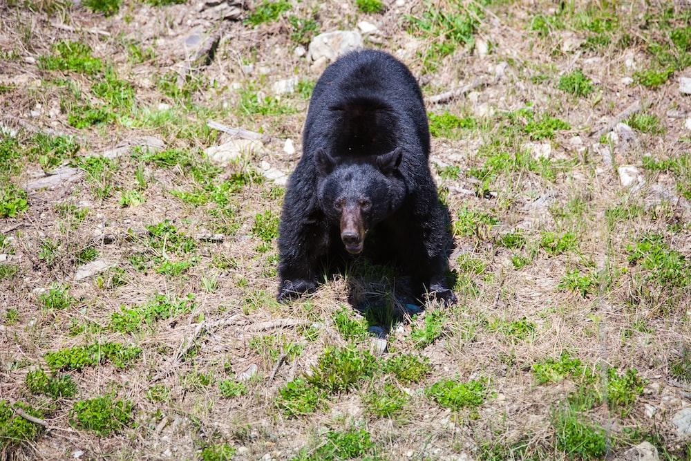 black bear on green grass field