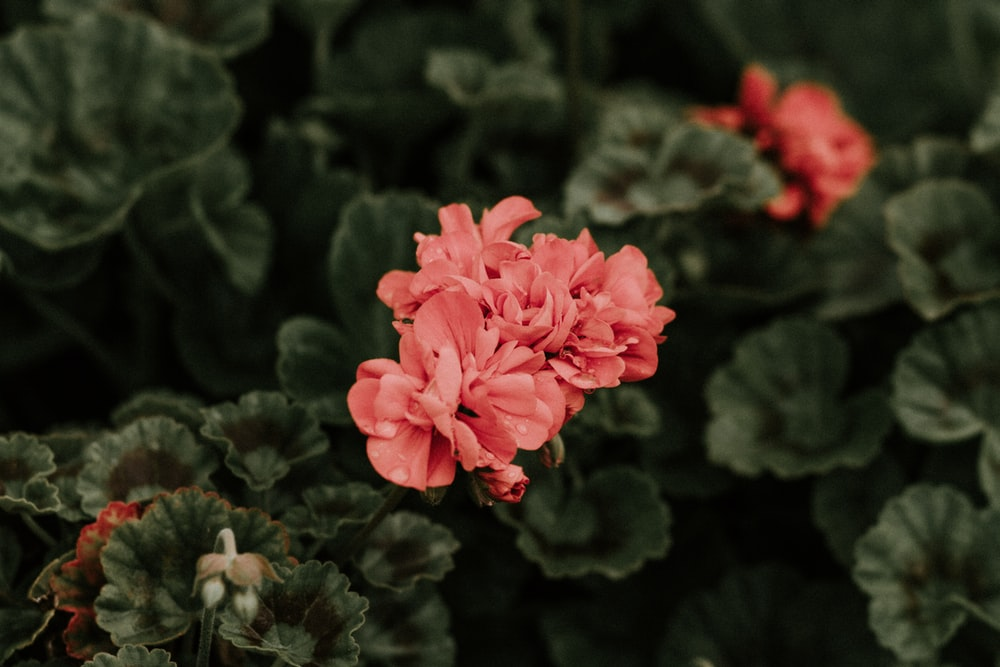 selective color of red-petaled flower