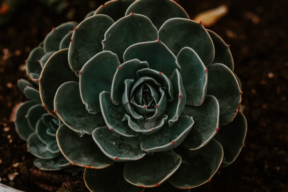 close-up photography of green succulent