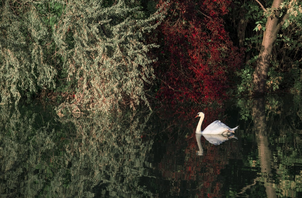 white duck on calm water surrounded by green and red leaf plants