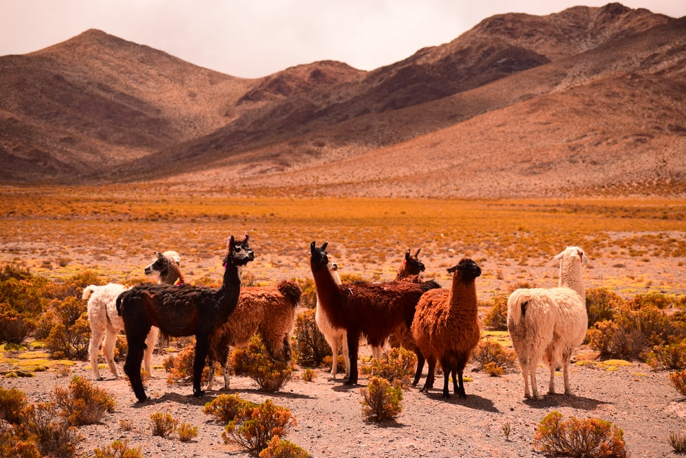 group of lama on field