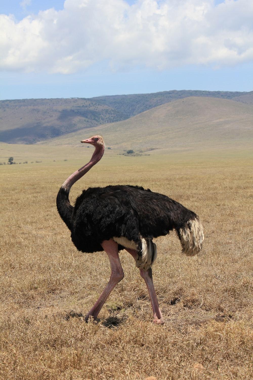 black ostrich on grassy field