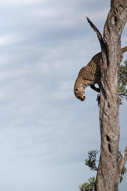 brown leopard on tree