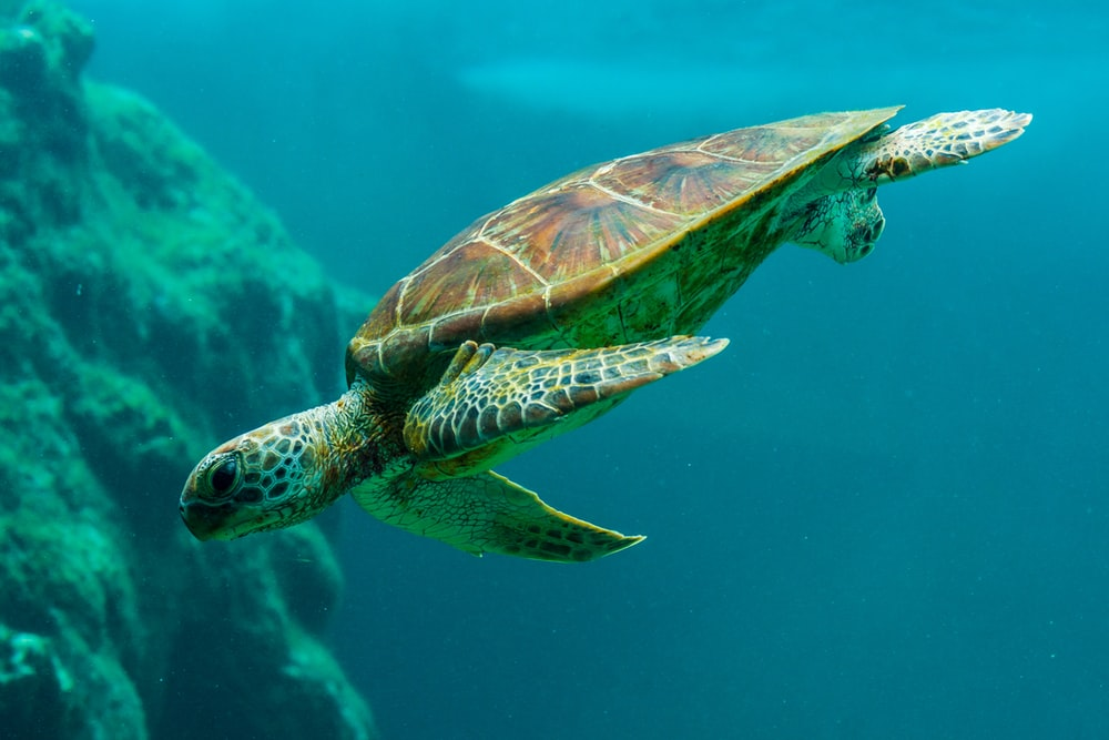 Underwater Turtle Pictures Download Free Images On Unsplash