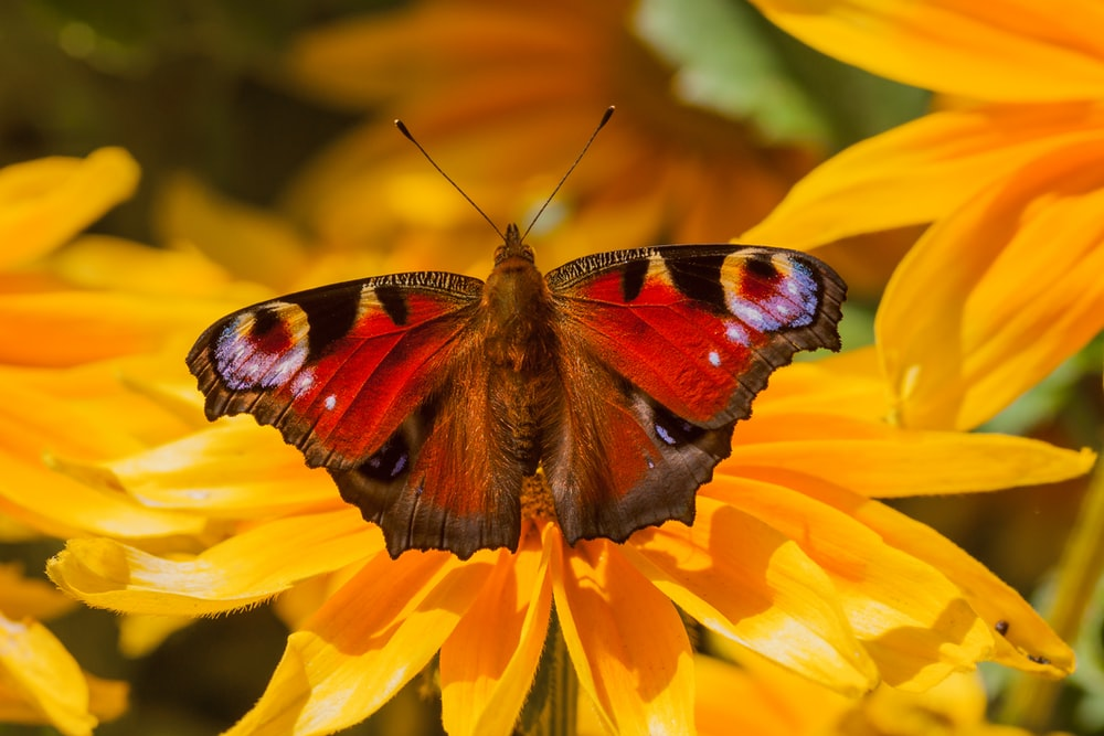 red and brown butterfly on flower