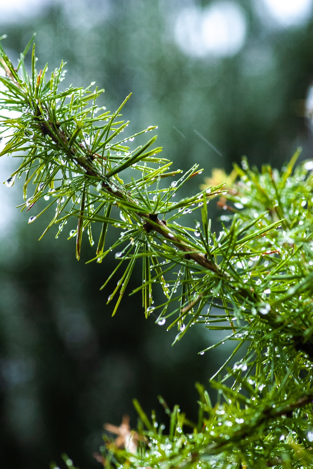 selected focus photography of green pine tree leaves