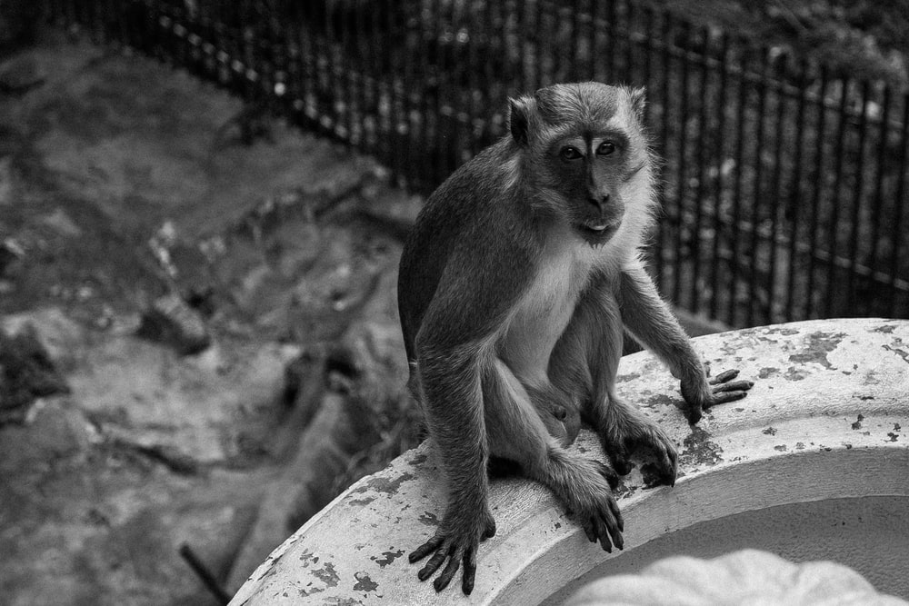 grayscale photo of monkey