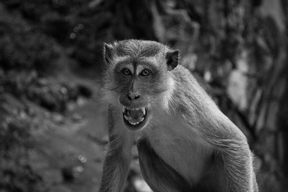 monkey greyscale photo