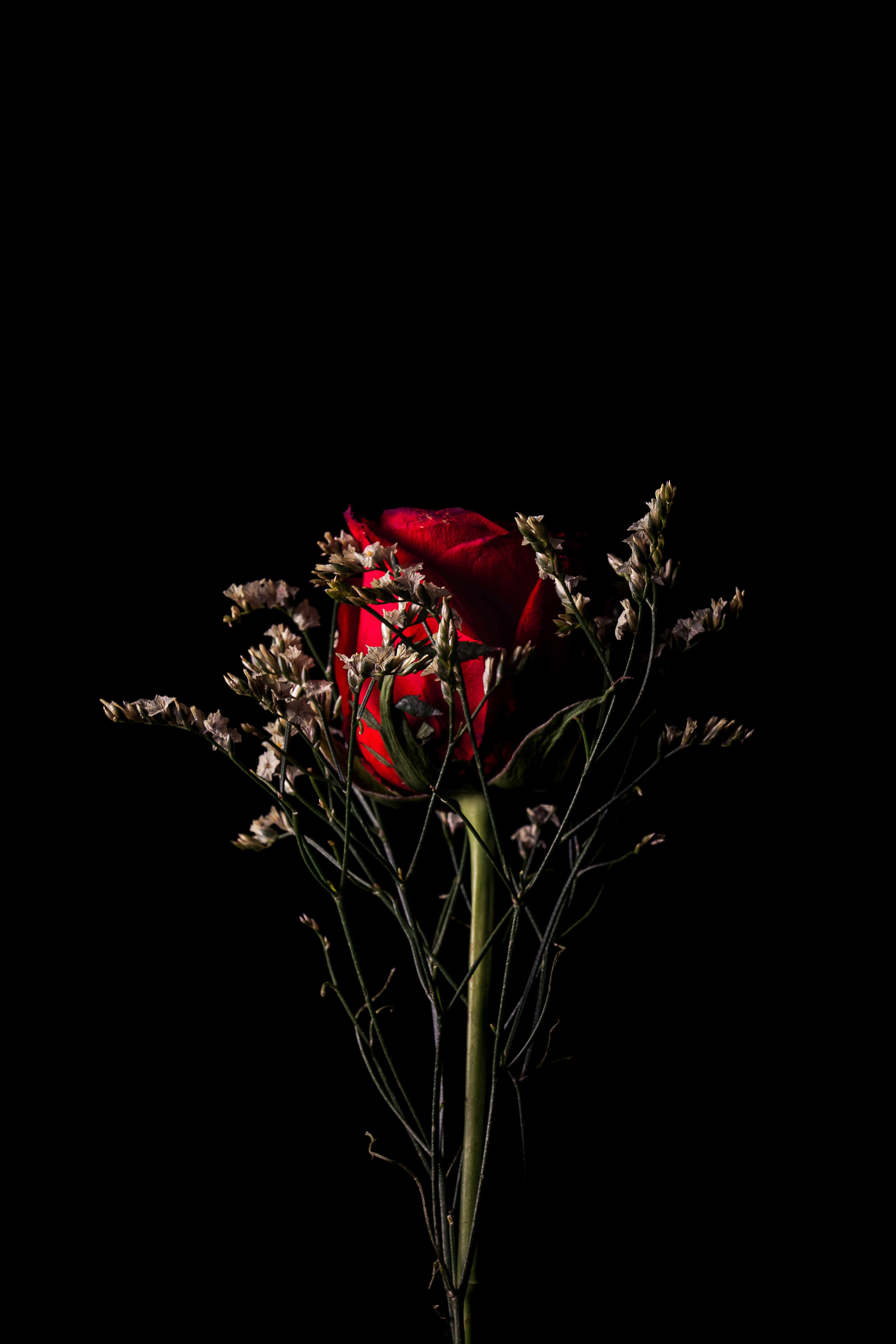 red rose behind white flowers in black background