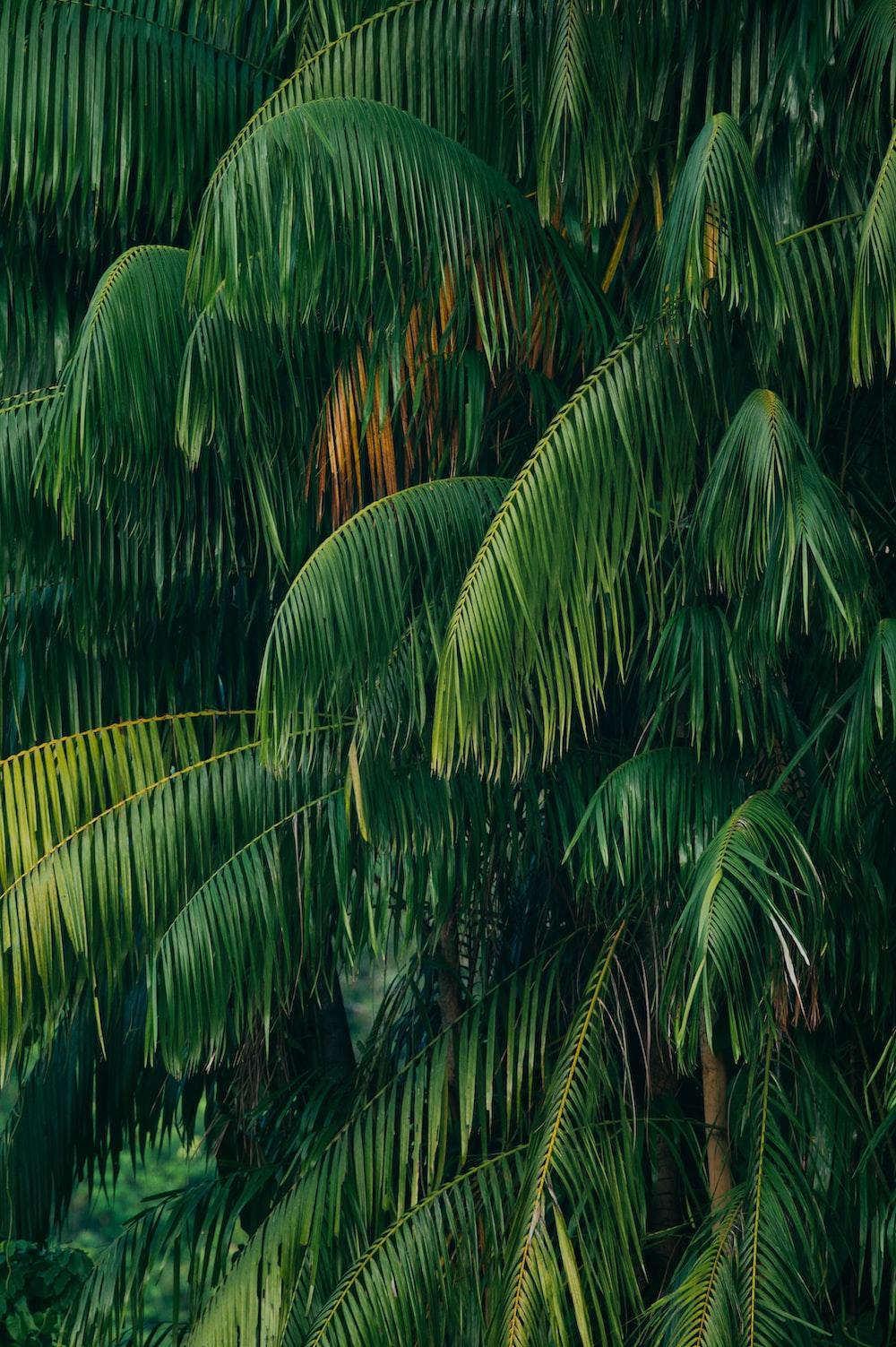 green coconut tree