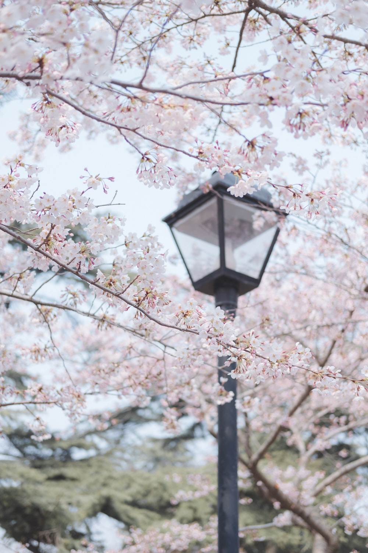 black lamp post near cherry blossom trees during daytime