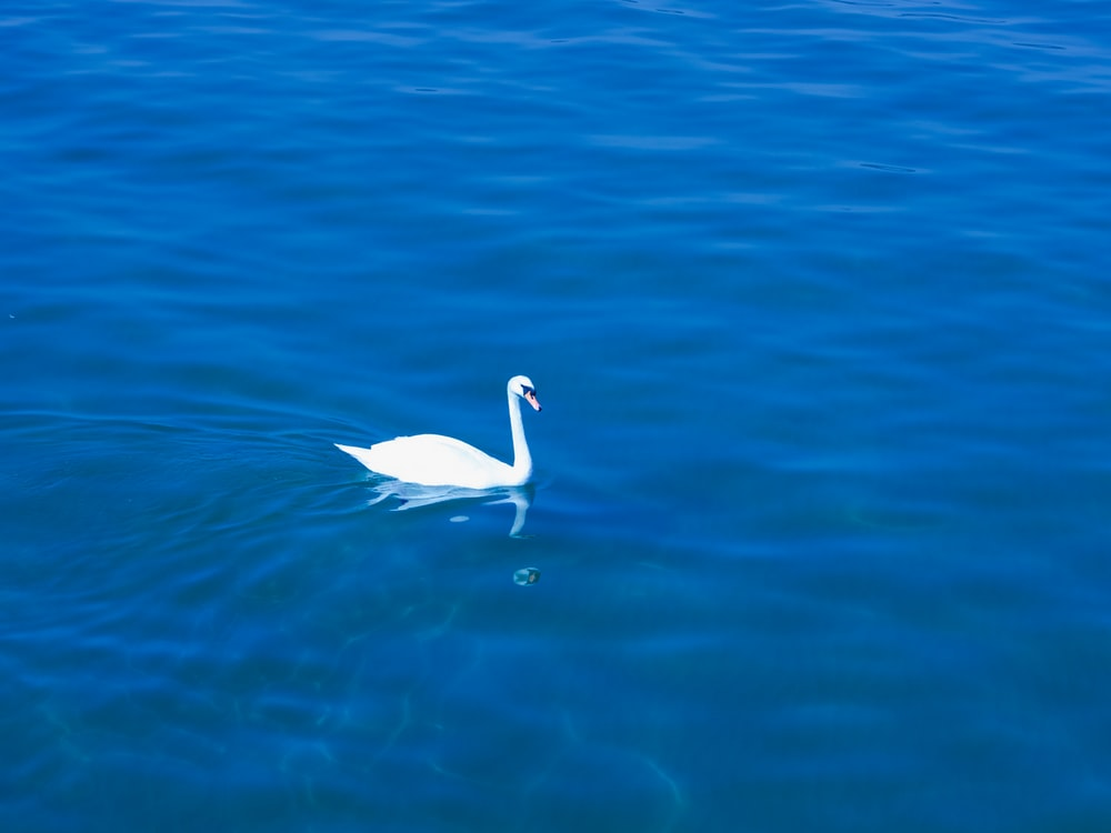swan on body of water during daytime