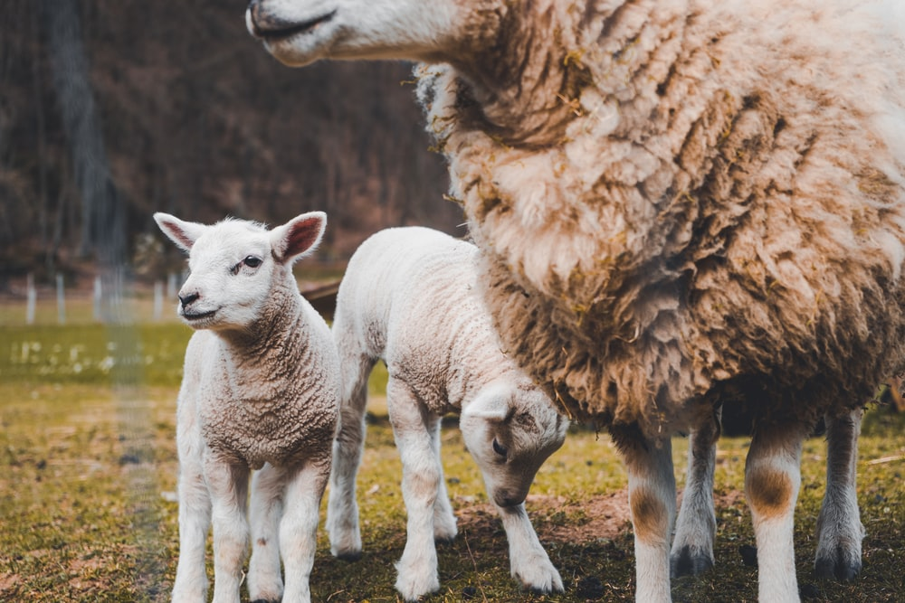 brown sheep and two white lambs