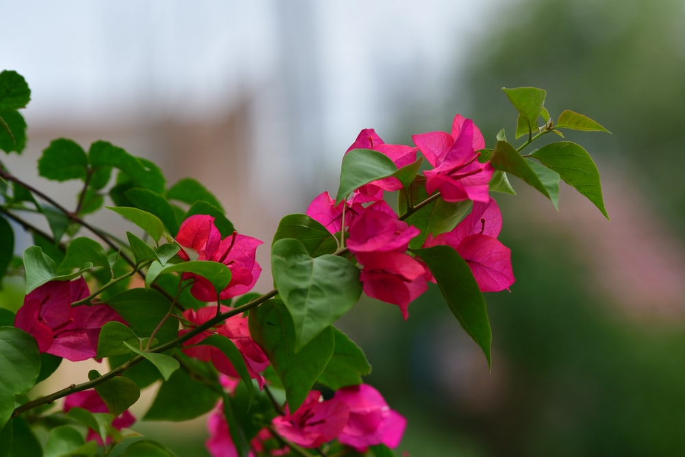 selective focus photography of bougainvillea flower