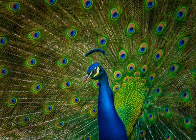 male blue and yellow peacock