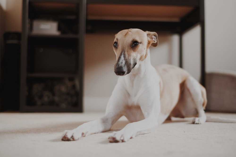 short-coated tan dog sitting beside table