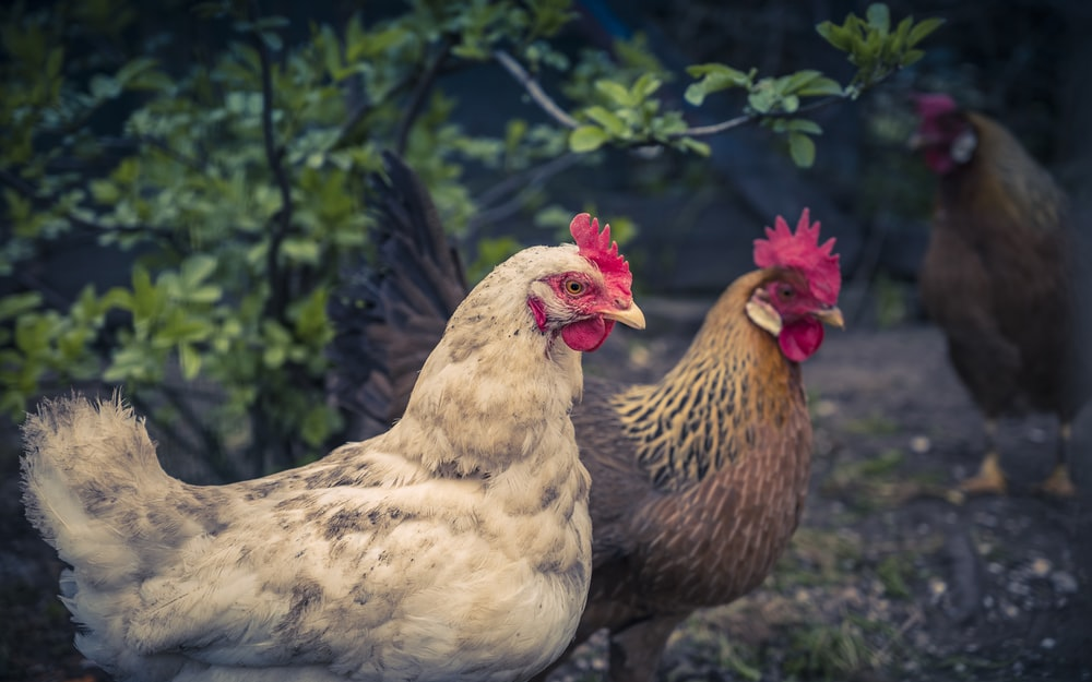 two white and brown hens
