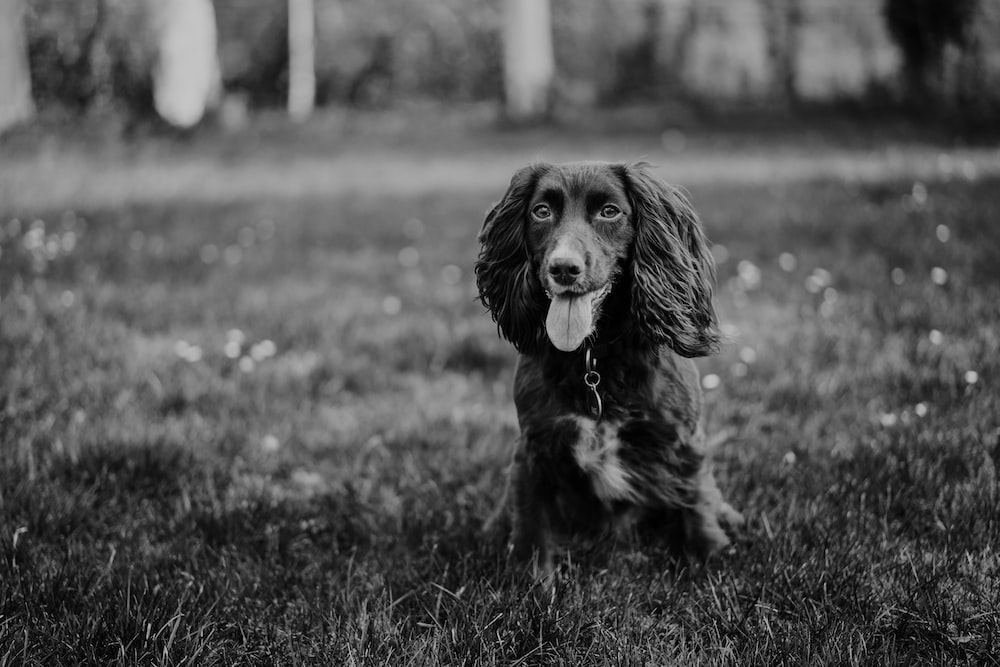 brown Spaniel dog sitting on grass