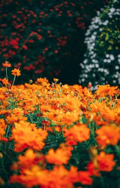field of orange petaled flowers
