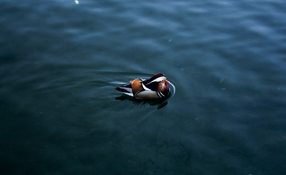 duck on calm sea