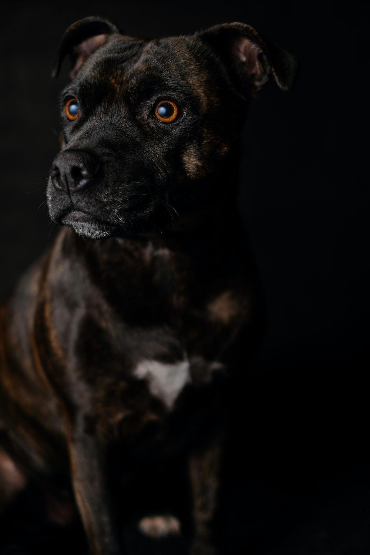 brindle dog on black background