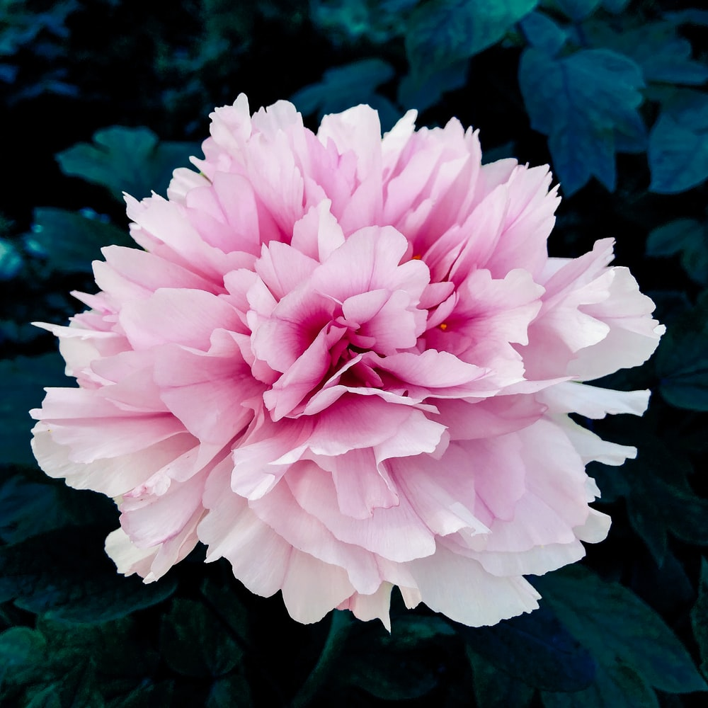 selective focus photography of pink-petaled flower in bloom during daytime