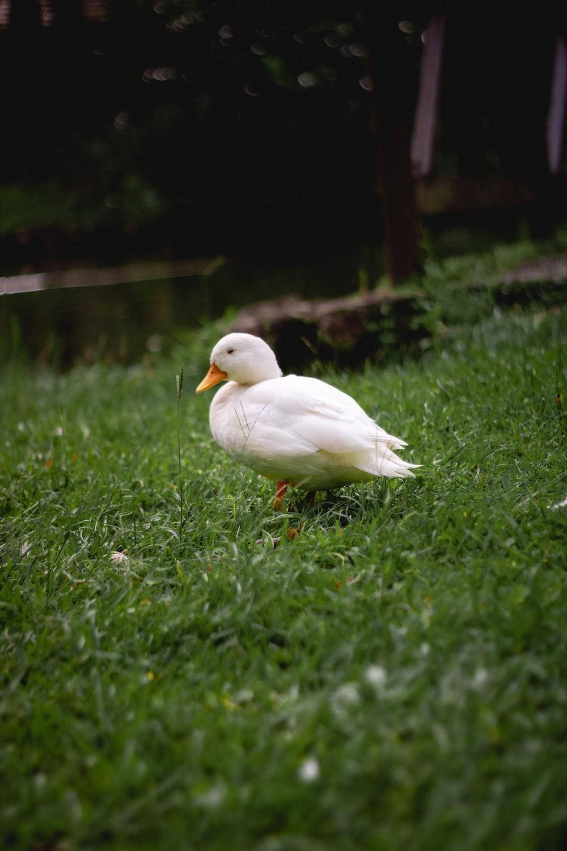 white duck on green grasses