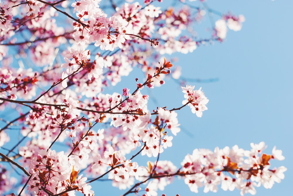 shallow focus photo of white and pink cherry blossoms