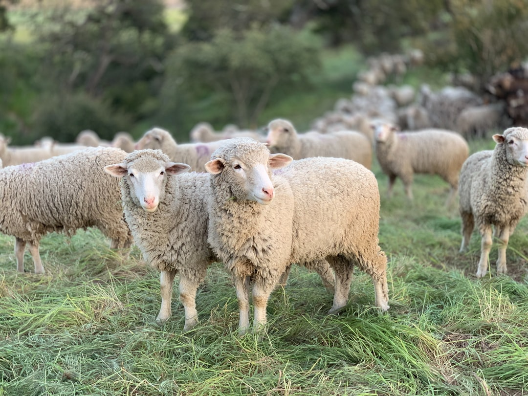 Sheep grazing at the San Marcos Foothills Preserve in Santa Barbara California as part of a habitat restoration strategy to reduce non-native annual grasses and promote the restoration of healthy grasslands.