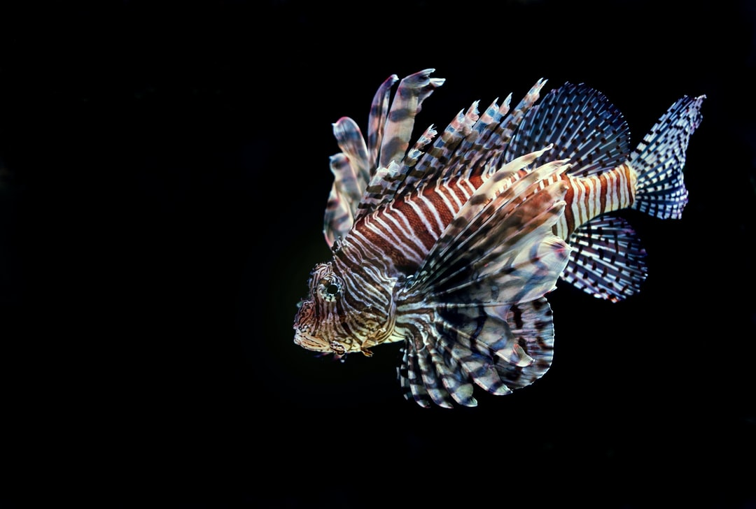 Swimming Lionfish. I was lucky to be panning the camera at the same speed as this Lion Fish swam past at the Cairns aquarium in Australia.