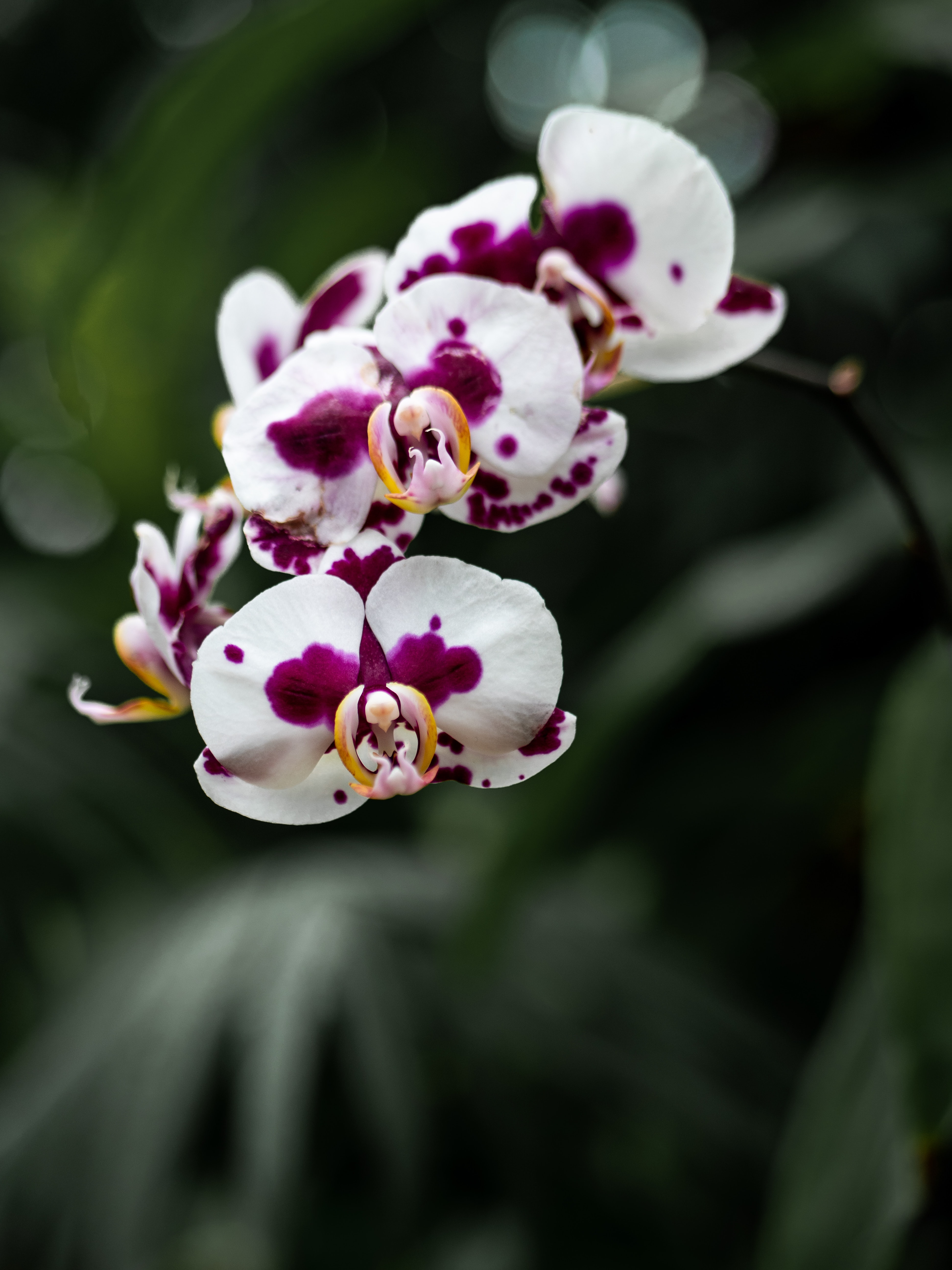 close-up photography of white and purple orchid flowers
