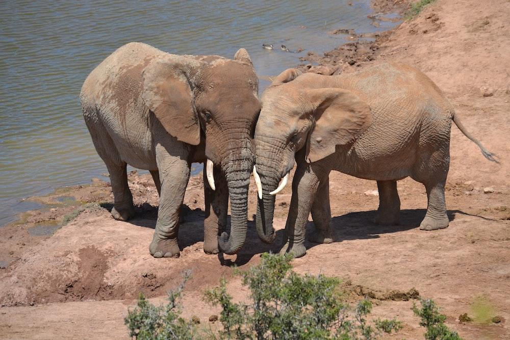 two elephants near river